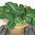 Растение «Маранта»: описание, уход, фото