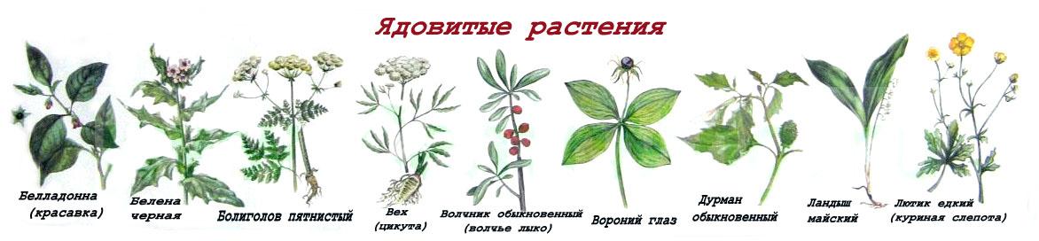 Названия ядовитых растений России