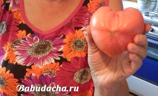 Сорт Вельможа - самый лучший сорт томатов для нас