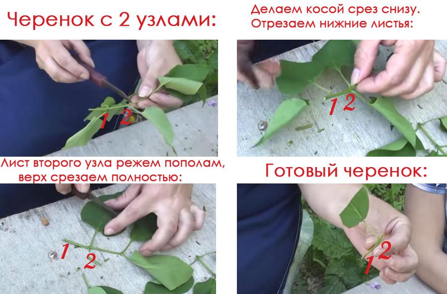 Схема: как размножать сортовую сирень черенками