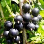«Крупные» сорта черной смородины