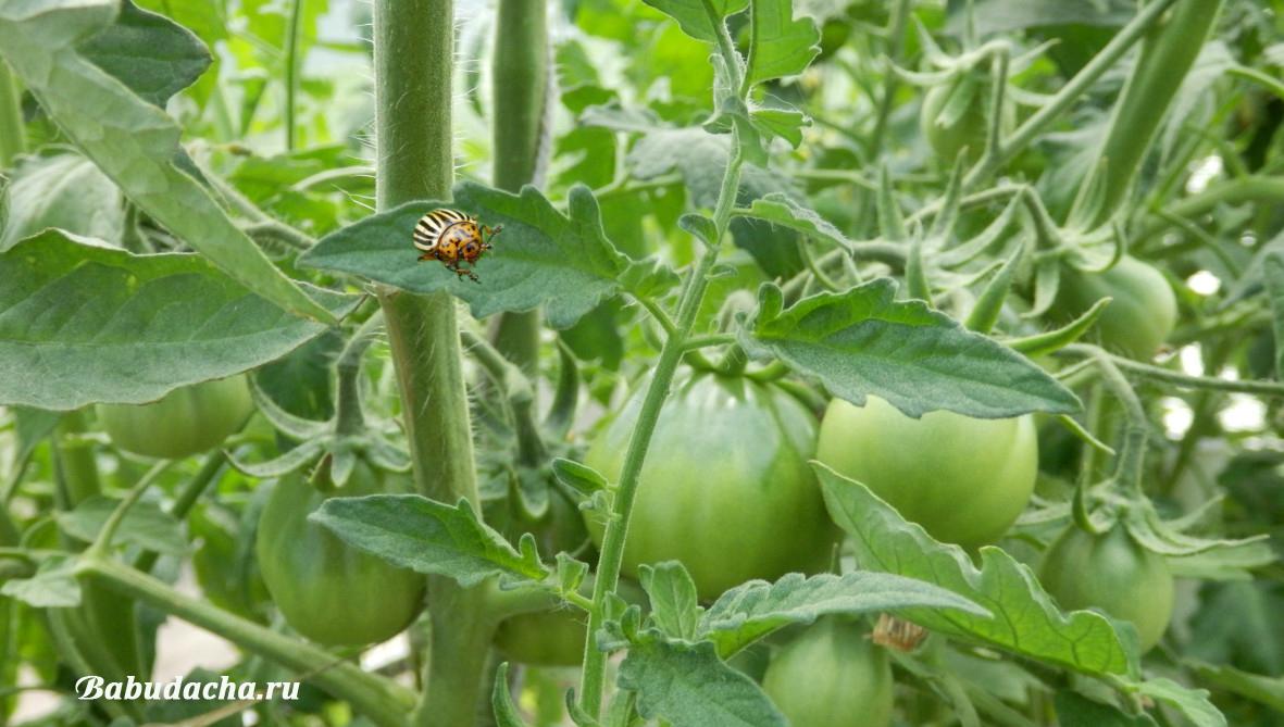 Колорадский жук на помидорах: фото