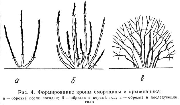 Схема обрезки смородины и крыжовника