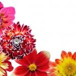 Когда проращивать георгины? Проращивание корнеклубней перед посадкой