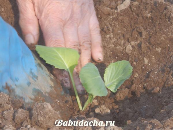Высаживаем рассаду капусты в грунт