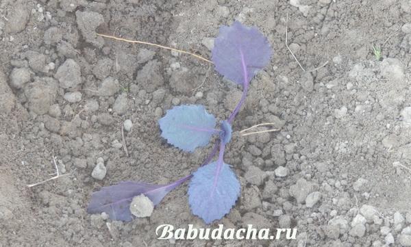 Рассада краснокочанной капусты