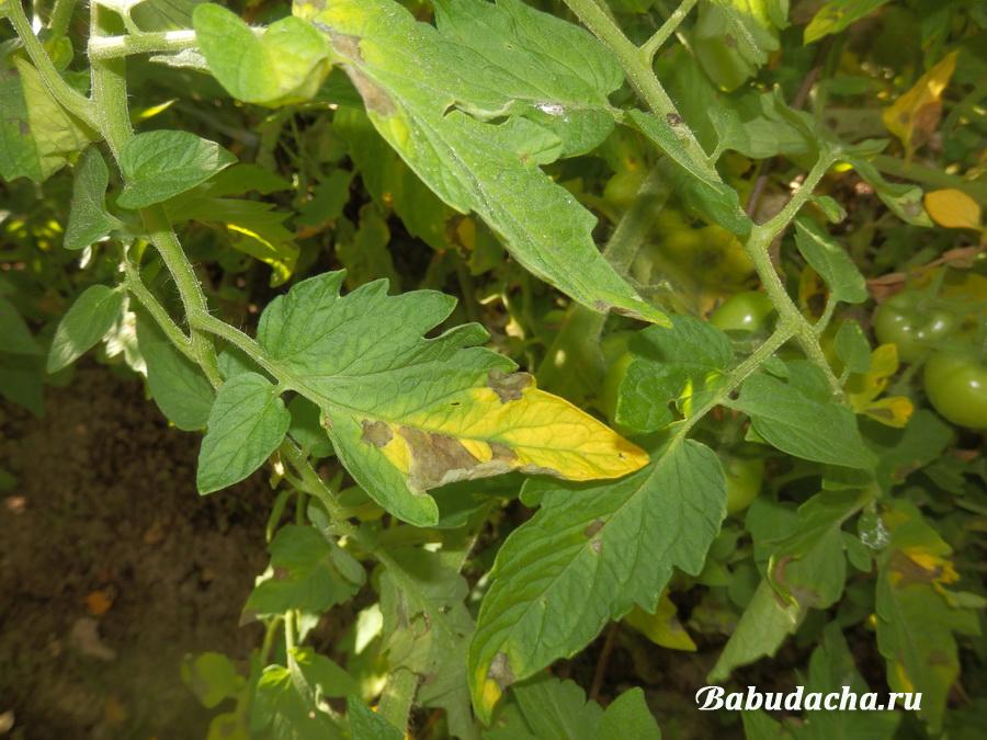 Фитофтора на листьях томатов