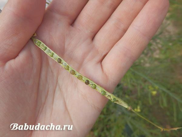 Выросли семена брюссельской капусты