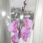 Орхидея «Фаленопсис»: полив, подкормки, основной уход