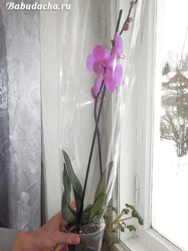 Фаленопсис не цветет