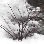 Сад весной: Чем обработать смородину и крыжовник?