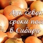 Когда садить лук в Сибири? Опыт сибиряка + Лунный календарь