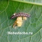 Народные и химические средства от гусениц на капусте