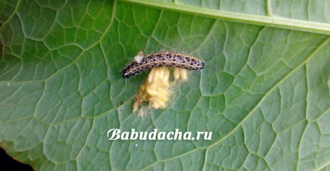 Фото: гусеницы и яйца бабочки капустницы