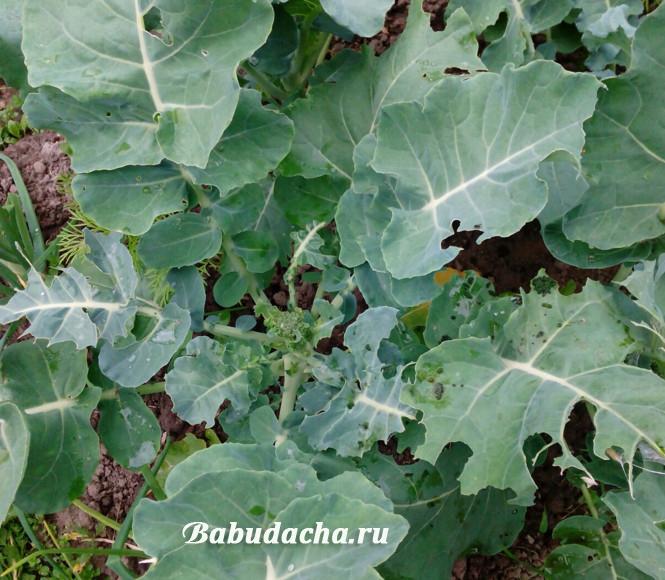 Листья капусты брокколи в дырках - их погрызли гусеницы