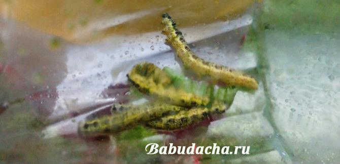 Эффективное средство борьбы с гусеницами - сбор вручную