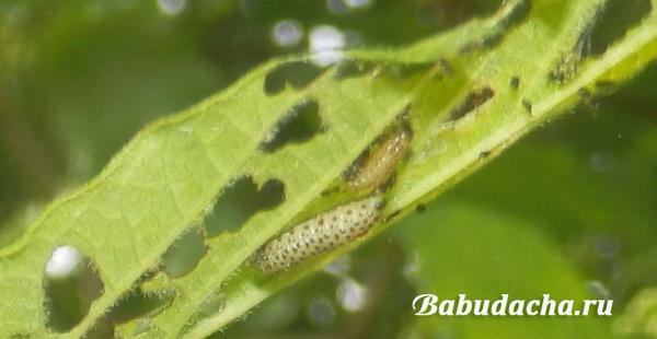 Фото: Гусеница калинового листоеда