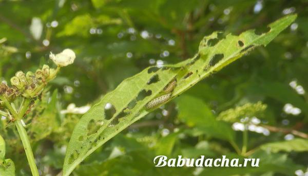 Гусеницы калинового листоеда на листьях