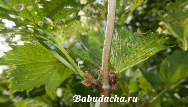 Следы пребывания калинового листоеда на растении