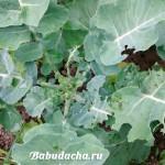Личный опыт: Чем обработать капусту от гусениц?