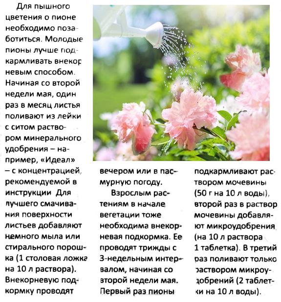 Подкормка пиона до и после цветения