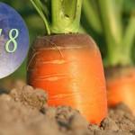 Осень 2018: Когда убирать морковь? Благоприятные даты для сбора урожая по Лунному календарю