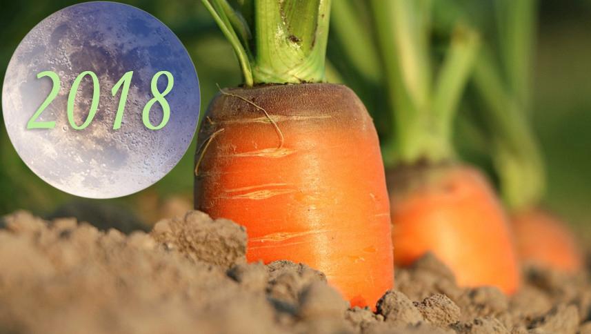 Благоприятные даты уборки моркови в 2018 году