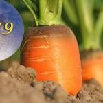 Осень 2019: Когда убирать морковь? Благоприятные даты для сбора урожая по Лунному календарю
