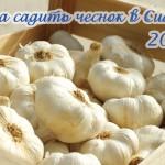 Когда садить зимний чеснок в Сибири? Опыт сибиряка + Лунный календарь на 2018 год