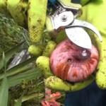 Гладиолусы осенью: Когда выкапывать луковицы гладиолусов и как их хранить?