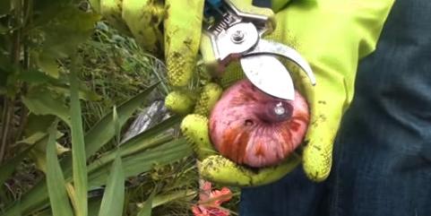 Обрезать стебли гладиолусов нужно всего лишь на пару сантиметров