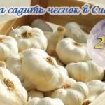 Когда садить зимний чеснок в Сибири? Опыт сибиряка + Лунный календарь на 2019 год