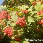 Калина красная: Когда собирать ягоды и что с ними делать?