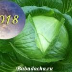 Сроки уборки капусты: Когда убирать капусту с грядки в 2018 году?