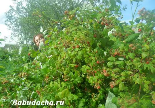 Садовая малина на участке