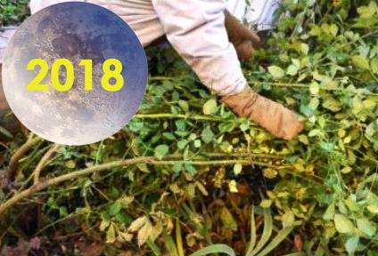 Сроки: Когда укрывать розы на зиму, осень 2018