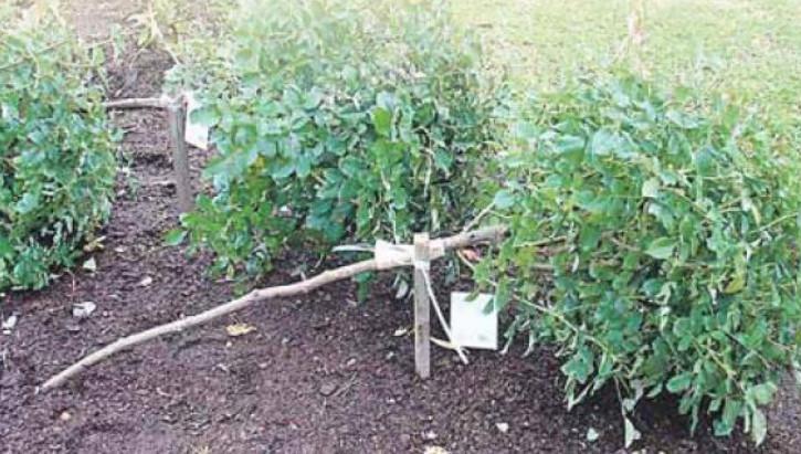 Пригибаем штамбовую розы постепенно