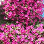Посевная 2019: Когда сеять петунию на рассаду? (Лунный календарь + личный опыт садовода)