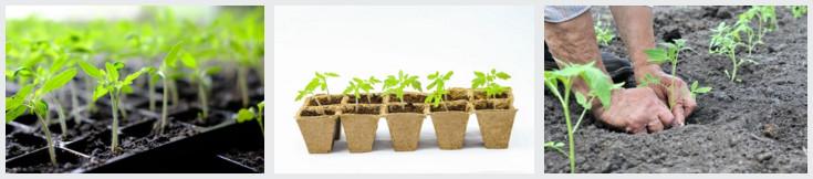Посаженные в срок, перцы и томаты дают отменный урожай!