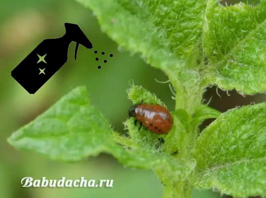 Личинки колорадского жука гибнут не только от химии. Помогут уксус, горчица и зола.