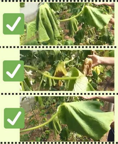 Чек-лист: Как выглядят огурцы, когда у них стремительно вянут листья