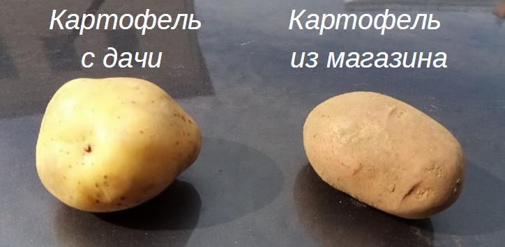 kartofel2019-4