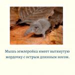 Викторина о мышах и крысах «Верю — Не верю» (с вопросами и ответами, а также с картинками)